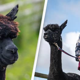 Geronimo The Alpaca's Owner 'Outraged And Devastated' Following Post-Mortem Results