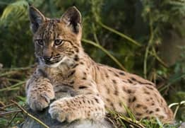 Wild Cats The Size Of Alsatians Could Be Reintroduced To UK To Hunt Deer