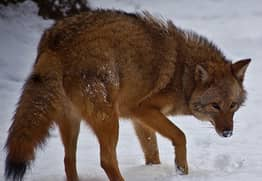 Meet The 'Coywolf', A Coyote-Wolf Hybrid Whose Population Is Rapidly Soaring