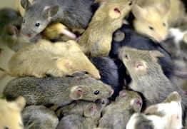 Forget 'Giant Mutant Rats', Plague Of 'Super-Smart Mice' To Hit UK