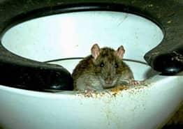 Grim Video Shows How Easily Rats Can Swim Up Into Your Toilet