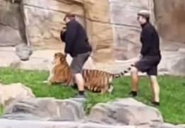 Handler Filmed Punching Tiger And Pulling Its Tail In Zoo Enclosure