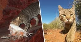 Australia To Kill Two Million Feral Cats By 'Airdropping Poison Sausages'
