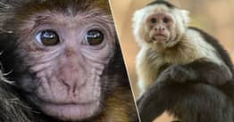 Chinese Scientists Insert Human Gene Into Monkey's Brain