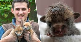 Farmer Saves Four Fox Cubs With Emergency C-Section On Dead Mother