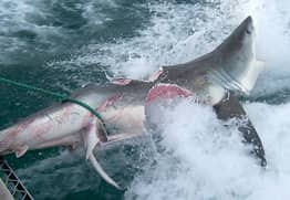 Cannibal Great White Sharks Rip Each Other Apart In Brutal Attacks