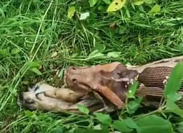 13ft Python Vomits Out Entire Dog After Swallowing It Whole