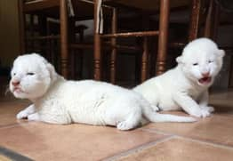 Endangered White Lions Give Birth After Being Saved From Circus