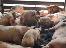 Undercover Video From Slaughterhouse Exposes Shocking Extent Of Animal Cruelty