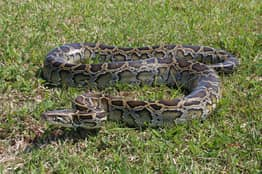 Python Second Largest Ever Caught In Florida's Wild