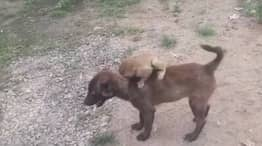Dog Carries Monkey Separated From Mother By Men To Police Station