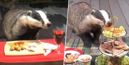 Badger Family Come To Dinner Every Night In Woman's Garden