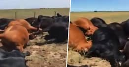 22 Cows Struck By Lightning All Die In An Instant Side By Side