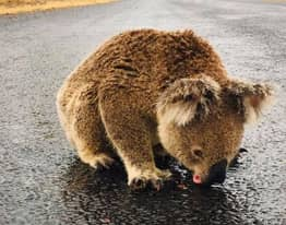 Thirsty Koala Licks Rainwater Off Road After Downpour