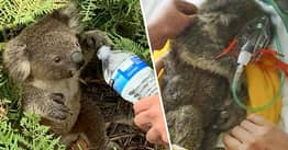 Arnie The Koala Rescued From Bushfire But Tragically Dies Thanks To 'Silent Killer'