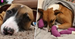 Dog So Scared By Fireworks She Ran Away For 30 Hours Until Paws Wore Out