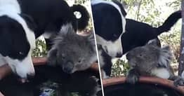 Koala Shares A Drink Of Water With Family's Dog In Australian Backyard