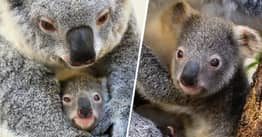 Florida Zoo Names Newborn Koala 'Hope' Amid Bushfire Crisis