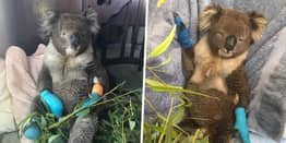 Koala Who Burned All Four Paws In Fires So Happy To Finally Be Safe