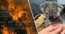 First Responders Told To Kill Baby Kangaroos And Koalas Orphaned In Bushfires