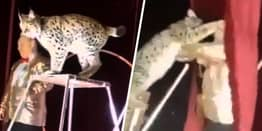 Lynx Mauls Circus Tamer After He Yanks It Off Chair During Trick