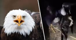 Bald Eagle Shot And Left For Dead May Never Fly Again