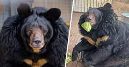 Big Fat Bear Who's Twice The Size He Should Be Hates His New Diet