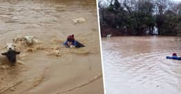 Derbyshire Farmer Jumps Into Raging Flood Waters To Save Lambs And Sheep