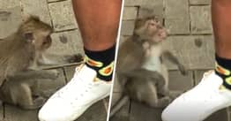 Monkey Doesn't Understand Why It Can't Eat Avocados On Guy's Socks