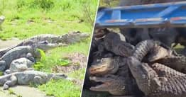 14,000 Critically Endangered 'Muddy Dragon' Alligators Returned To National Park