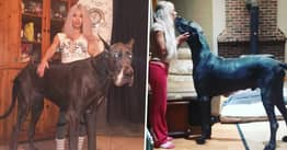 Seven-Foot Great Dane Is Constantly Mistaken For A Horse
