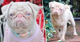Rare Pink Pug Called Milkshake Is One Of Less Than 100 In The World