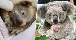 Australian Reptile Park Celebrates First Koala Born Since Deadly Bushfires