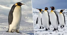 Antarctic Penguins Release An Extreme Amount Of Laughing Gas When They Poop, Study Finds