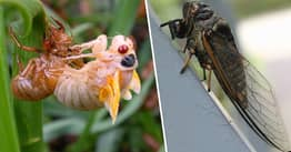 Millions Of Cicadas To Emerge In US After Lurking Underground For 17 Years