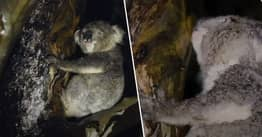 Koalas' Method Of Staying Hydrated During Dry Season Filmed For First Time