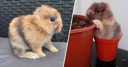 Adorable 'Miracle' Rabbit Born With No Ears Looks 'Just Like Mini Lion'