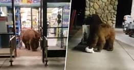 Bear Steals Midnight Snack From Supermarket And Sits Outside To Eat It