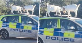 Isle Of Wight Police Hunting Delinquent Goats Who Hijacked Their Car In Broad Daylight