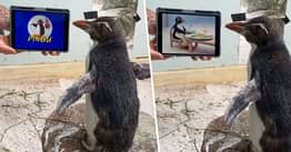 Penguin Binge-Watches Pingu As He Has Sick Day At Perth Zoo