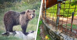 Europe's 'Most Wanted Bear' Captured After 42 Days On The Run
