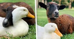 Rescue Goat Becomes Best Friends With Duck That Can't Walk