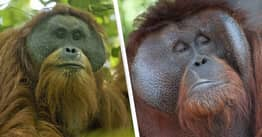 Newly-Discovered Orangutan Species 'Being Driven To Extinction' By Company's Goldmine