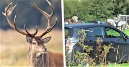 Outrage As More Than 100 People Meet Up For Stag Hunt