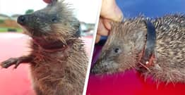 Hedgehog Found With Plastic Ring Embedded In Neck