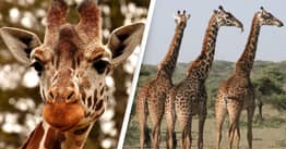 Calls To Ban Trade Of Giraffe Parts In US Grow As They Face Extinction