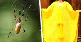 Arachnophobe 'Milks' 1.2 Million Spiders Over Seven Years To Make Cape From Their Silk