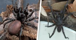 Australians Warned Deadly Funnel-Web Spiders To Take Over Homes In Wet Winter