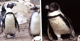 Gay Penguins Steal Entire Egg Nest From Lesbian Penguins To Become Dads