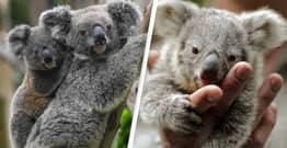 Major Koala Habitat To Be Bulldozed In Australia